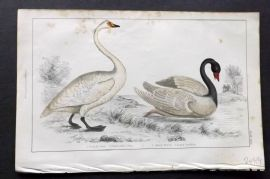 Goldsmith 1851 Hand Col Bird Print. Bewick's & Black Necked Swan